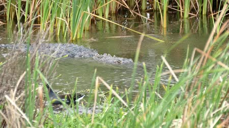 An American alligator, Alligator mississippiensis, and a Common Gallinule bird, Gallinula galeata, in a marsh at a Port Aransas, Texas nature preserve.