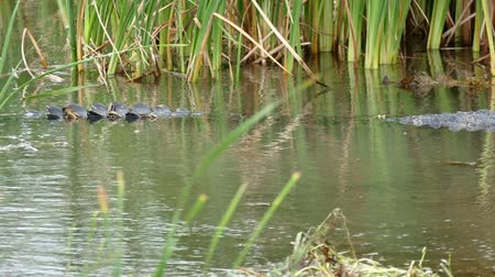 pullu : Two American alligators, Alligator mississippiensis, and a Common Gallinule bird, Gallinula galeata, in a marsh at a Port Aransas, Texas nature preserve. Stok Video