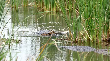 Two American alligators, Alligator mississippiensis, crawling in water of marsh at a Port Aransas, Texas nature preserve.