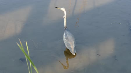 Tricolored Heron, Egretta tricolor, standing in shallow water of a marsh in a Port Aransas, Texas nature preserve.