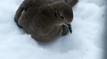 American mourning doves zenaida macroura or rain dove foraging in fresh snow.