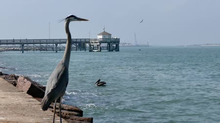 Heron stands on jetty as Pelicans and Seagulls can be seen in distance and on water. Selective focus in this Port Aransas, Texas landscape. Wideo