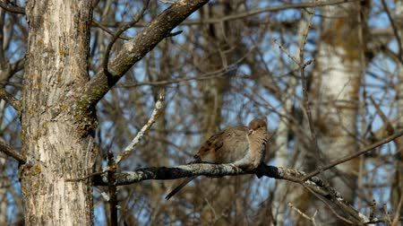 American Mourning Dove zenaida macroura or rain dove perched on tree branch Wideo