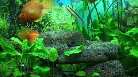 travel tropical : Beautiful aquarium with gold fish Stock Footage