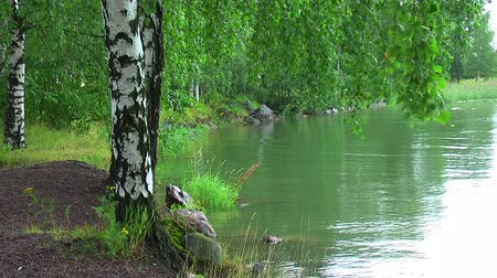 peaceful : Birches by the lake