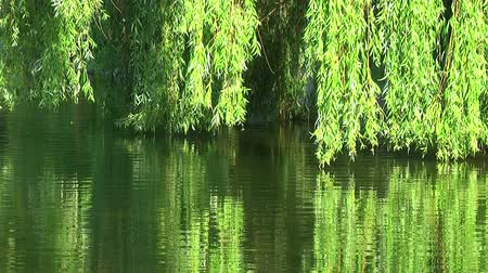 natuur : Willows on the water