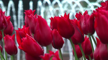 pétalas : Red tulips with fountain