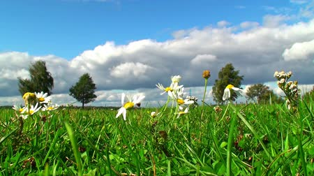 otlak : Camomiles on meadow in summer