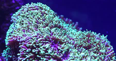 anemon : Scenic ultra HD 4K video with macro view of color corals in underwater tropical sea