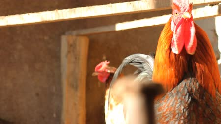 rooster in henhouse