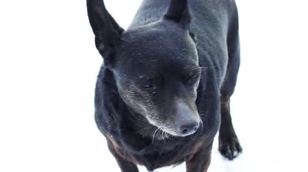 black dog on a white background Stock Footage