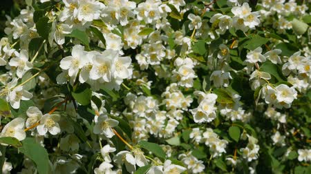 yasemin : Beautiful jasmine white flowers, summer day. Flowers in the wind (close-up) Stok Video