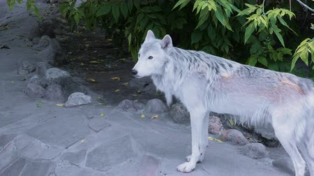 wolf dog : White north wolf howling near human house