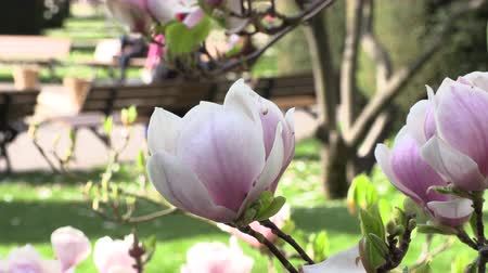 magnólia növény : Blooming magnolia tree with beautiful flowers