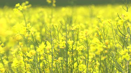 mustard : Rapeseed (Brassica napus) in a field -row of trees in background. Rapeseed is a bright yellow flowering member of the mustard or cabbage and is known for the production of vegetable oil.