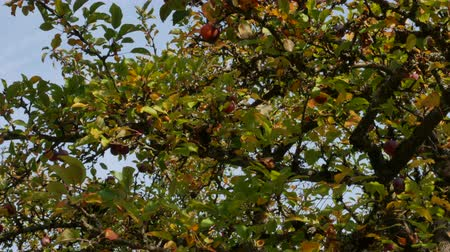 tasmania : Fruit tree is covered with ripe apples, germany