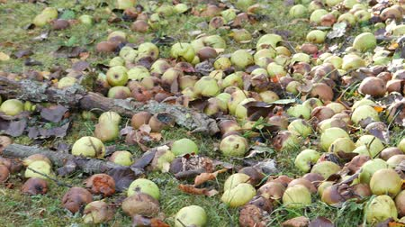 груша : The rotten pears fallen from the tree lie on the grass