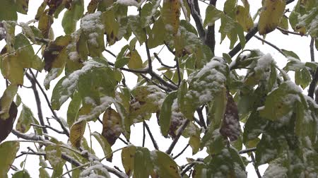 snowy background : First snow on green leaves of trees