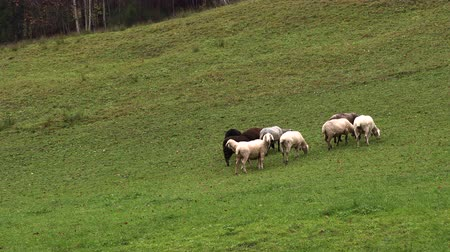 cordeiro : sheep graze in mountain meadows, bavaria, Slow motion Stock Footage