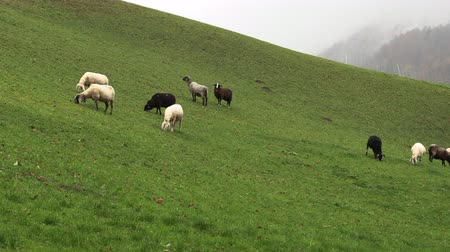 kırsal : sheep graze in mountain meadows, bavaria, Slow motion Stok Video