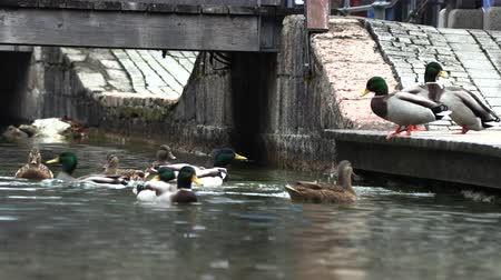 yeşilbaş : Wild ducks frolic on the pier, slow motion, germany Stok Video