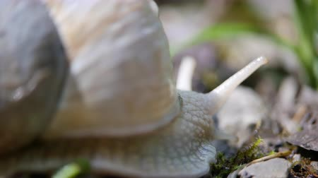 měkkýš : White snail on a green leaf of grass