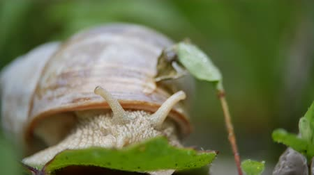 bezmotorové létání : White snail on a green leaf of grass