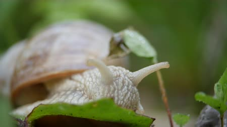 lesma : White snail on a green leaf of grass