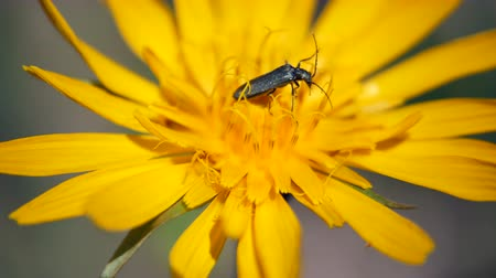 wildflowers : Insect crawling on the yellow flower Stock Footage