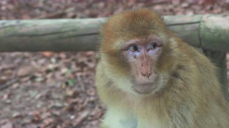 barbary : Barbary monkey eats salad on the tree Stock Footage