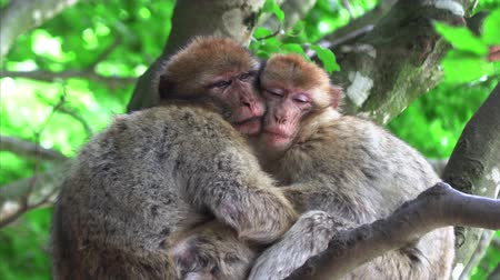 barbary : Two monkeys hugging an sleeping on a tree Stock Footage