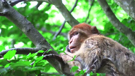 fas : Barbary monkey eats salad on the tree Stok Video