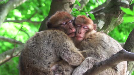 megőriz : Two monkeys hugging an sleeping on a tree Stock mozgókép