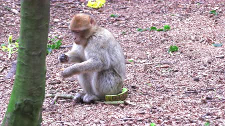 marokkó : Adult Barbary Monkeys in search of nutrition Stock mozgókép