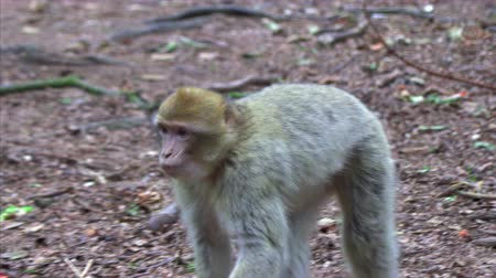 barbary : Adult Barbary Monkeys in search of nutrition Stock Footage