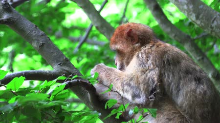 monkey : Barbary monkey eats salad on the tree Stock Footage