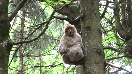 marokkó : Barbary monkey eats salad on the tree Stock mozgókép