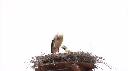 bocian : Family of storks in the nests