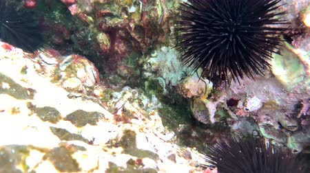 vahşi hayvan : sea urchins and fish, corals at the bottom of the Mediterranean Sea Stok Video