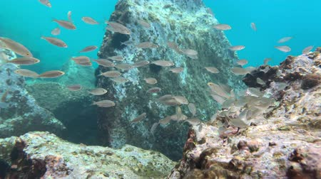 サージ : sea urchins and fish, corals at the bottom of the Mediterranean Sea 動画素材