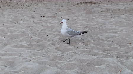 A seagull slowly walks along the beach