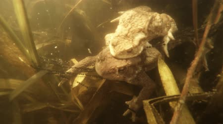 застежка : The courtship period in pond frogs