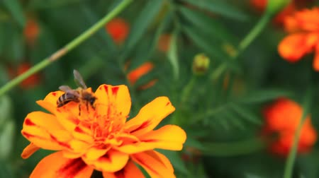 pszczoła : Bee on tagetes