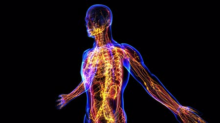 wykresy : All human body systems. Transition body - lymphatic system - body. Loop Wideo