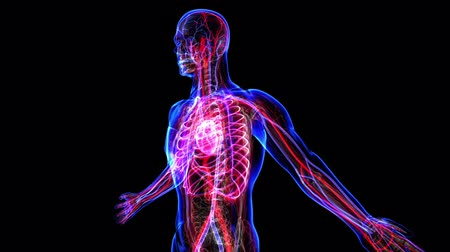puls : All human body systems. Circulatory system highlight. Loop