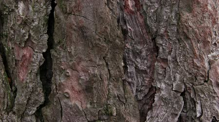 havlama : Tree bark background Stok Video
