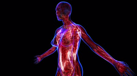 három ember : All human body systems. Transition body - female muscular system - body. Loop