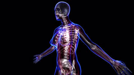 három ember : All human body systems. Transition body - female skeleton - body. Loop