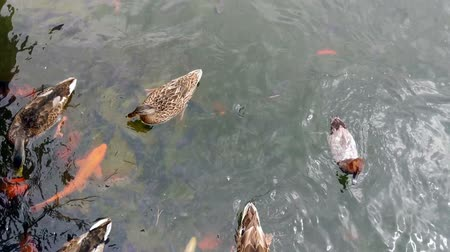 kaczka : Ducks in the pond. Top view Wideo
