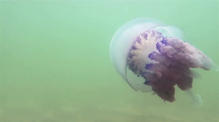 ekolojik : Floating in the thickness of the water in the Black Sea, commonly known as the barrel jellyfish (dustbin-lid, frilly-mouthed jellyfish), scyphomedusae. Black Sea Stok Video